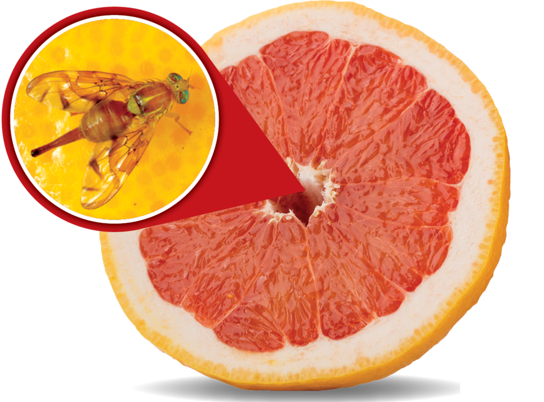 grapefruit-bug