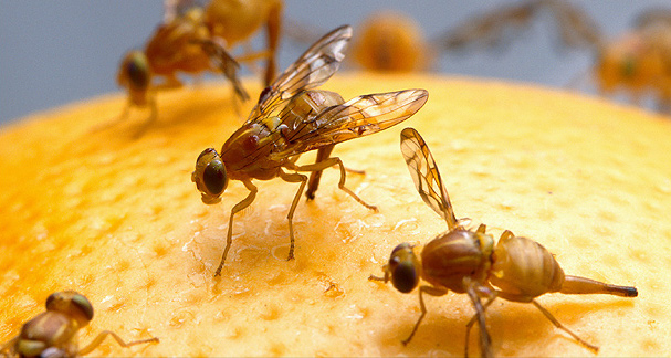 Mexican fruit flies on orange
