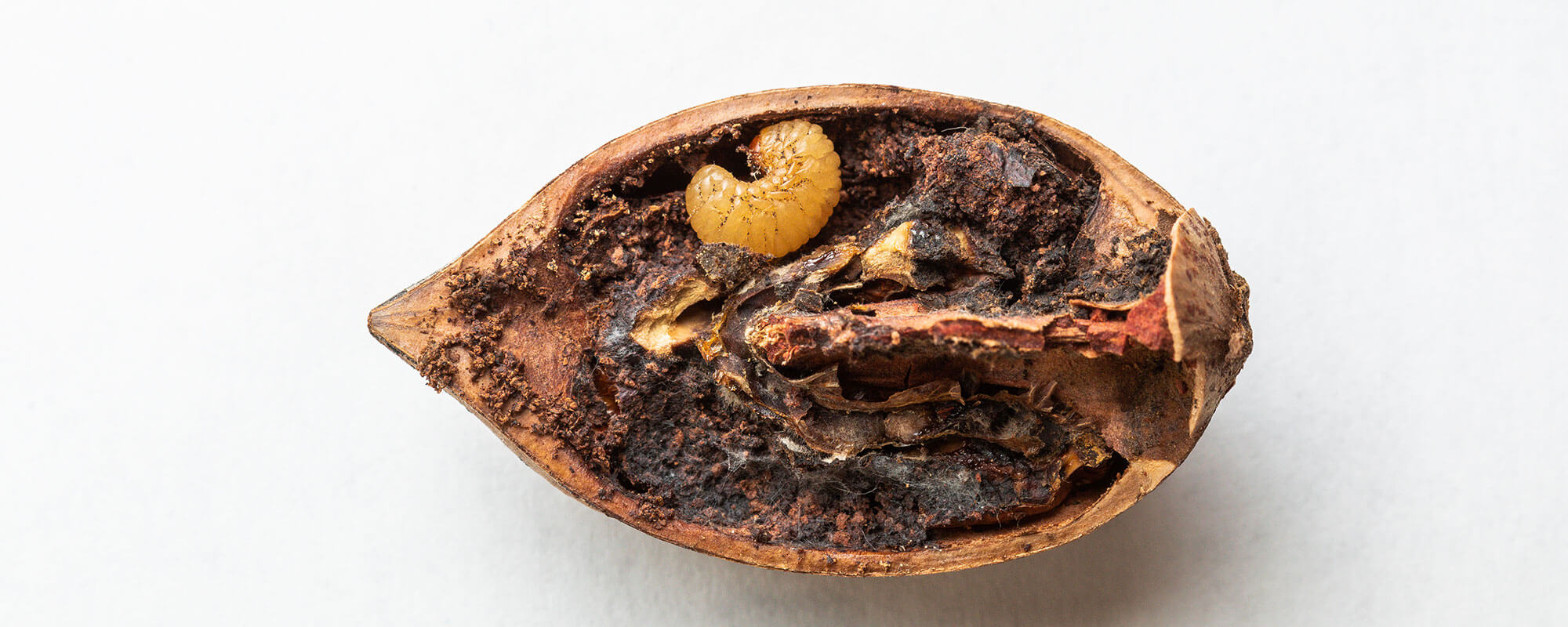Pecan weevil grub in a nut